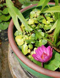 Miniature Ponds for Patios and Small Spaces