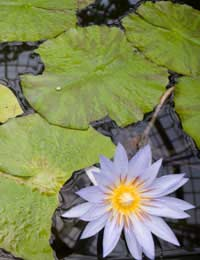 Growing Water Lilies Successfully