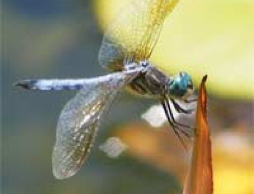 Pond Life – Dragonflies and Their Relatives