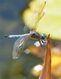 Pond Life - Dragonflies and Their Relatives