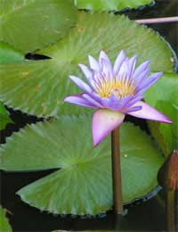 Choosing the Right Water Lily for Your Pond