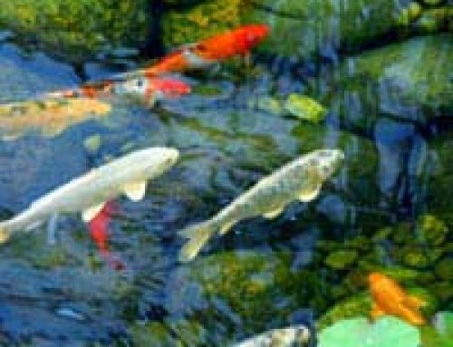 Fast Facts About Pond Fish