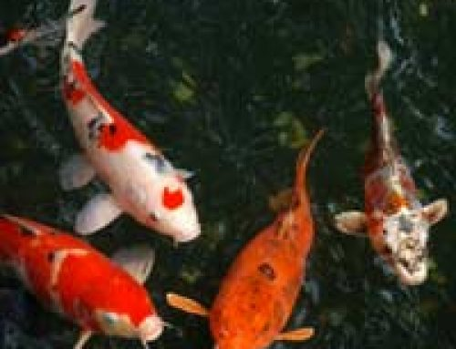 A Beginner's Guide to Keeping Koi
