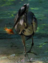 Dealing With Pond Pests and Predators