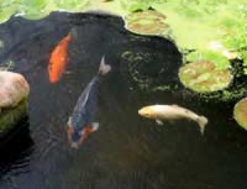 Green Pond Water – Easy steps to get your pond water clear from algae again!