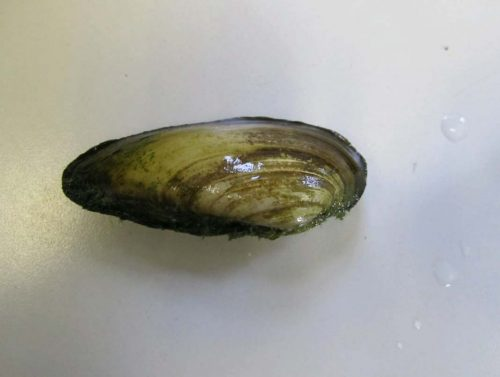 Painter Mussels for Ponds