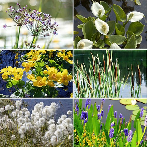 Pond Plant Collection