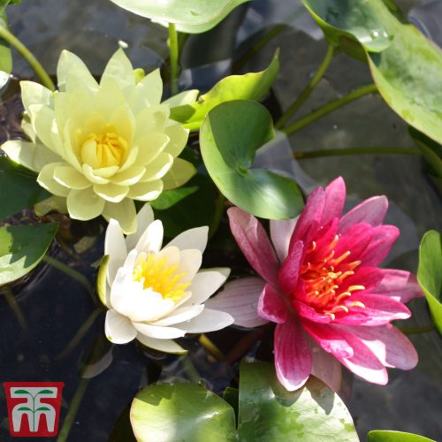 Water Lily Trio with a Pond Basket