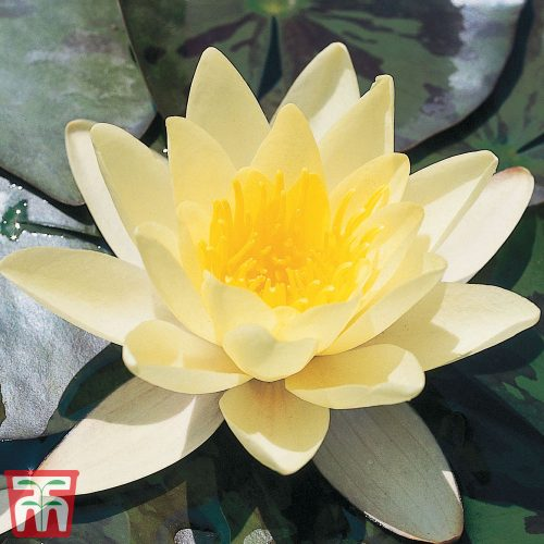 Water Lily Yellow with a Pond Basket